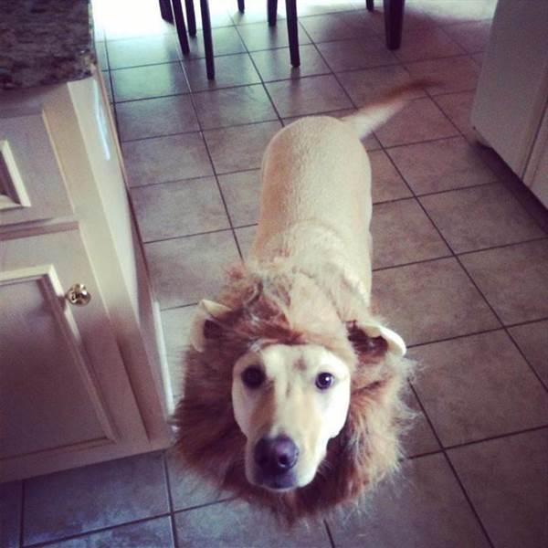 ライオン犬